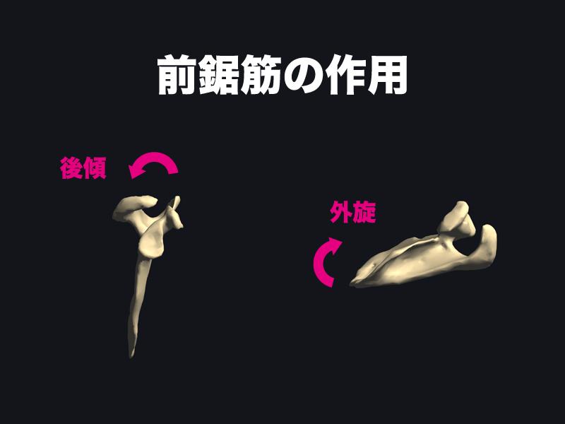 前鋸筋の作用