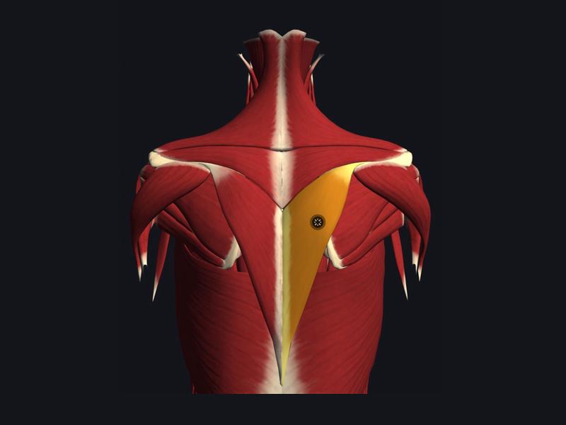 僧帽筋下部繊維の位置