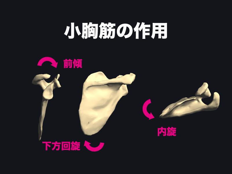 小胸筋の作用