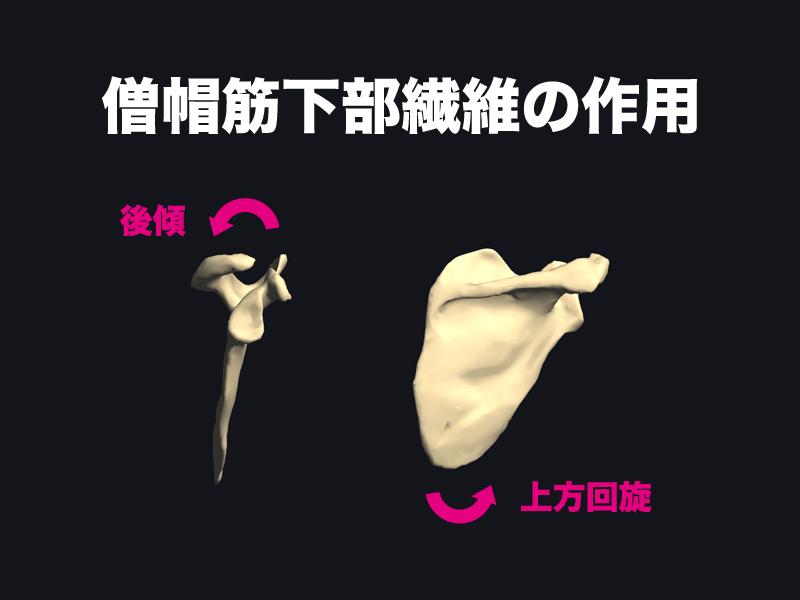 僧帽筋下部繊維の作用